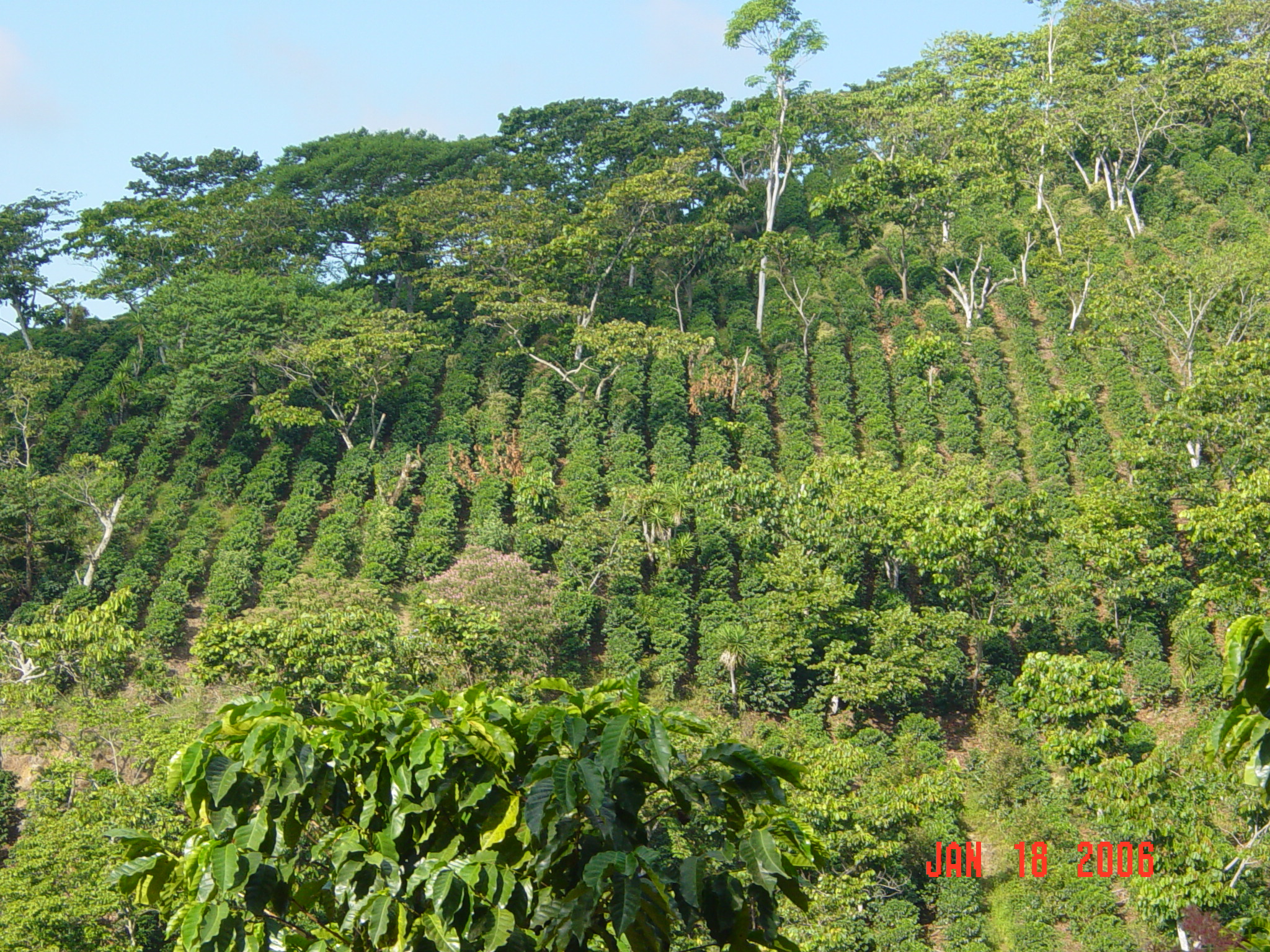 sun or shade grown coffee essay The hidden yield in the shade vs sun comparison is that of the non-coffee products and opportunities coming the ecological benefits of shade grown coffee.