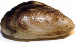 Close-up of a quagga mussel. Photo courtesy of Michigan Sea Grant.